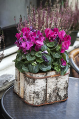 Pink cyclamen in a pot birch bark packaged as a decoration of st