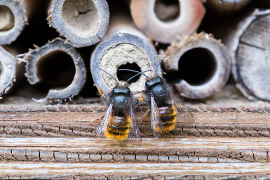 Osmia Cornuta, a specie of solitary bees, on a wooden nesting site.