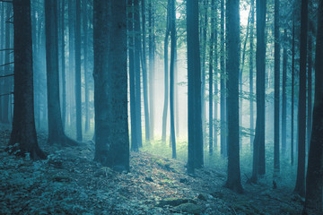 Wall Murals Forest Blue green colored mystical foggy light in tree forest.