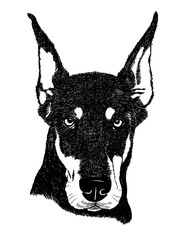 Doberman pinscher dog portrait illustration in vector