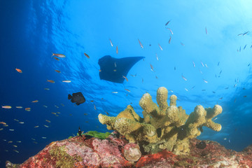 Manta ray swimming over coral reef