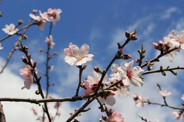Almond flower tree