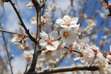 Almond flower tree