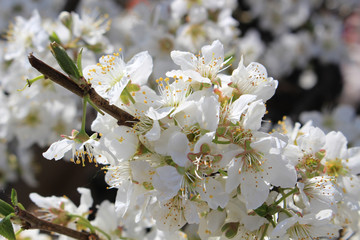 Plum flower tree