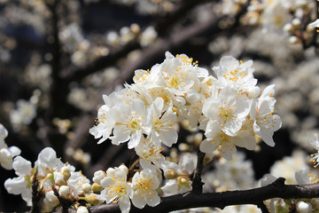 Plum flower tree