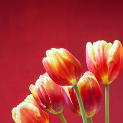 tulips on red background square image