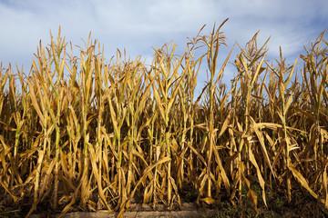 yellowing corn field