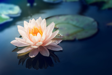 Fotorolgordijn Lotusbloem A beautiful pink waterlily or lotus flower in pond