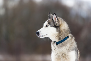 Thoroughbred dog similar to a wolf.