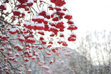 Bunches of Rowan in the trees.
