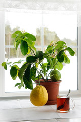 Large lemon growing in the home on the windowsill in Siberia in winter.