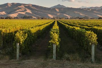 Wall Murals Vineyard vineyards in Marlborough in New Zealand