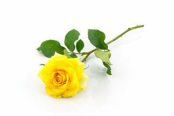 Beautiful yellow rose flower.