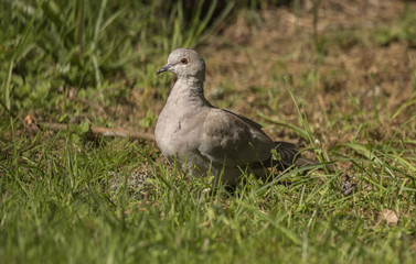 Collared Dove, on the grass