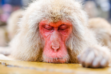 Japanese snow monkey bathing in hot spring