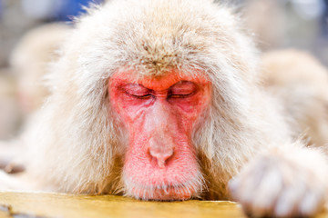 Japanese snow monkey bathing in hot spring