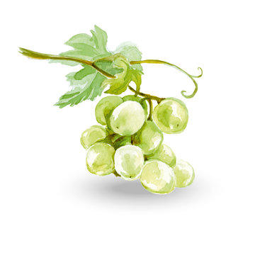 Watercolor Sketch bunches of grapes. Vector illustration.