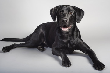 Black Laborador Retriever Dog