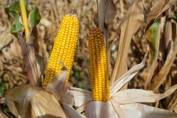 Yellow corncob on field