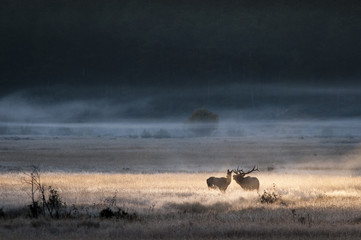 Bull elk courts a female in a beam of light at sunrise in a meadow.