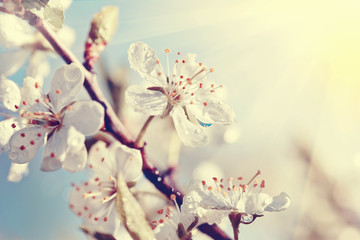 Branch of the blossoming cherry in sunshine