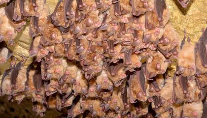 Greater mouse-eared bat ( Myotis myotis)
