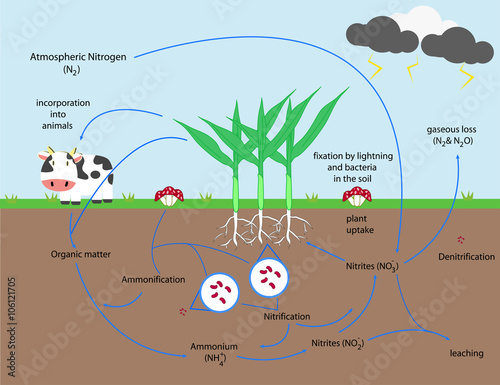 the nitrogen cycle stock image and royalty free vector files on