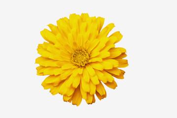 Yellow zinnia  isolated  on white backgrounds