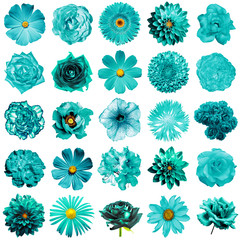 Mix collage of natural and surreal turquoise flowers 25 in 1: peony, dahlia, primula, aster, daisy, rose, gerbera, clove, chrysanthemum, cornflower, flax, pelargonium isolated on white