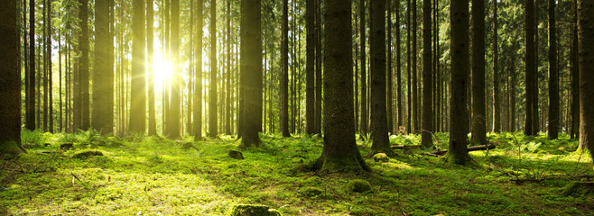 Photo sur Toile Foret Sunlight in the green forest.