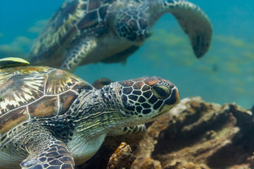 Two green sea turtles underwater