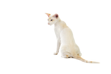 Purebred cute siamese cat studio shot