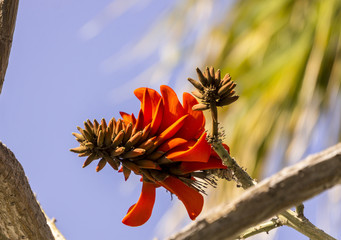 Tropical flowering plant Erythrina crist-galli: Common name Coral Tree - Flame Tree.
