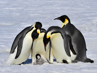 Emperor Penguins with chick