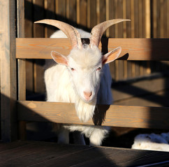 Photo beautiful goat