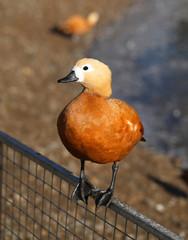 Photo Orange duck