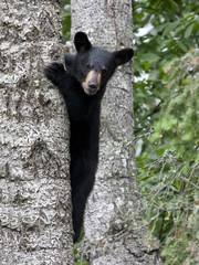 Black Bear Cub Climbing Tree