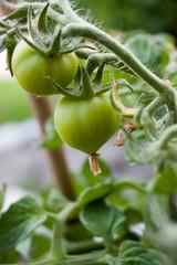 A tomato plant with still green, unripe tomatoes - the garden season begins