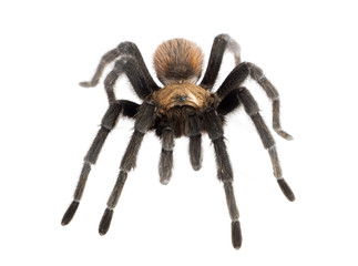Aphonopelma hentzi, the Texas Brown tarantula, (also known as Ok