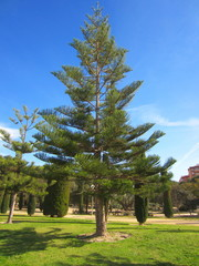 Norfolk Island Pine in park