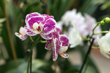 Beautiful blooming orchid