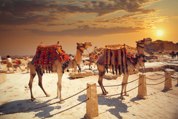 camel near of great pyramid in egypt
