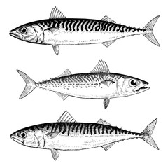 Mackerel Illustrations Chub, Blue and Atlantic