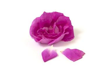 petals roses