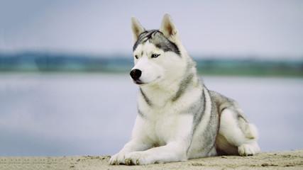 Dog. Portrait of Siberian Husky. Dog on the river bank. Landscape