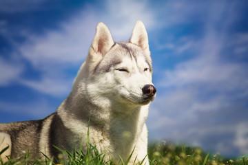 Dog. Portrait of Siberian Husky. Dog on the lawn of dandelions. Landscape. A dog on a background of the sky