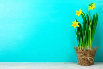 very fragrant and beautiful daffodil in the vase on burlap on blue wooden background
