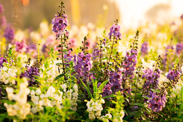 lupins flower blooming in the sunset