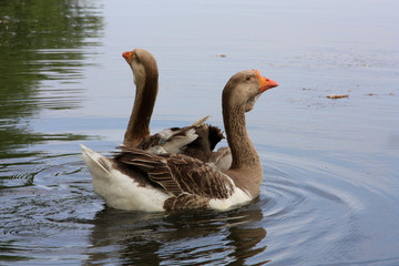 Two beautiful geese swimming on the water