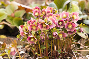 group of pink hellebores blooming in the country side spring garden
